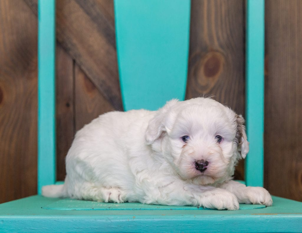 A picture of a Lucky, one of our Petite Sheepadoodles for sale