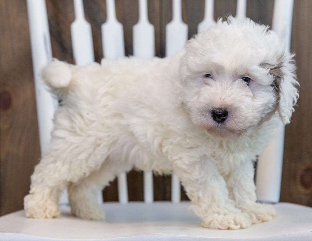 A picture of a Lucky, one of our Petite Sheepadoodles puppies that went to their home in Illinois