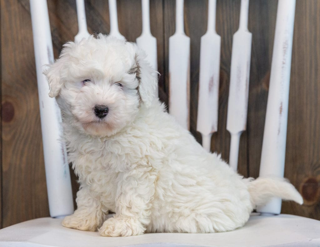 Lucky is an F1BB Sheepadoodle that should have  and is currently living in Illinois