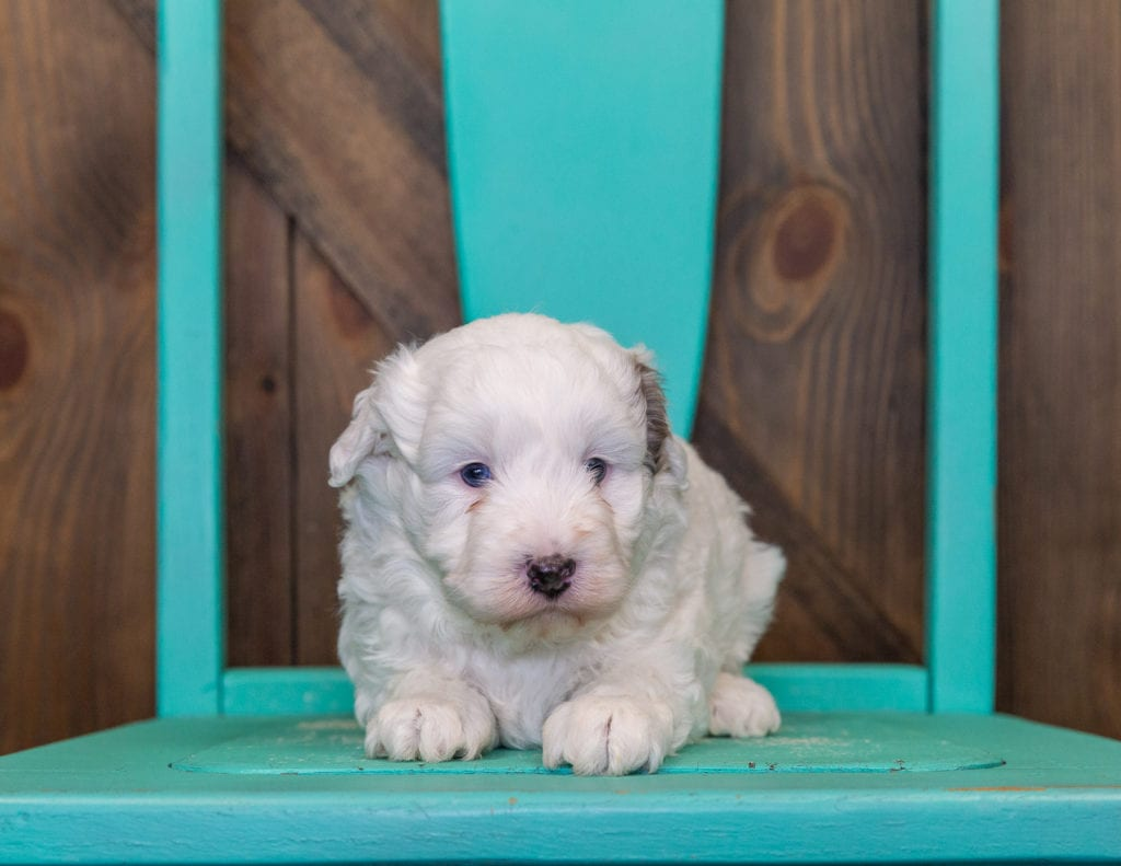 Lucky came from Roxy and Grimm's litter of F1BB Sheepadoodles