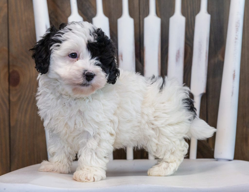 Lucy is an F1BB Sheepadoodle that should have  and is currently living in Illinois