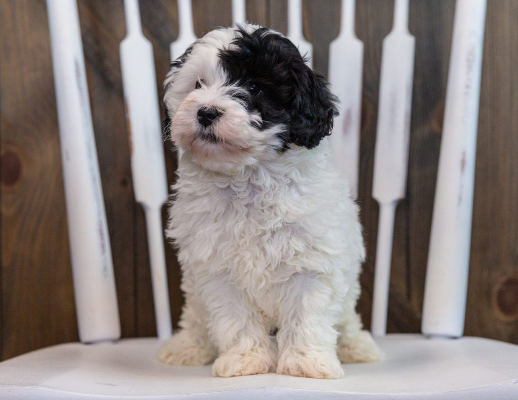Lucy came from Roxy and Grimm's litter of F1BB Sheepadoodles
