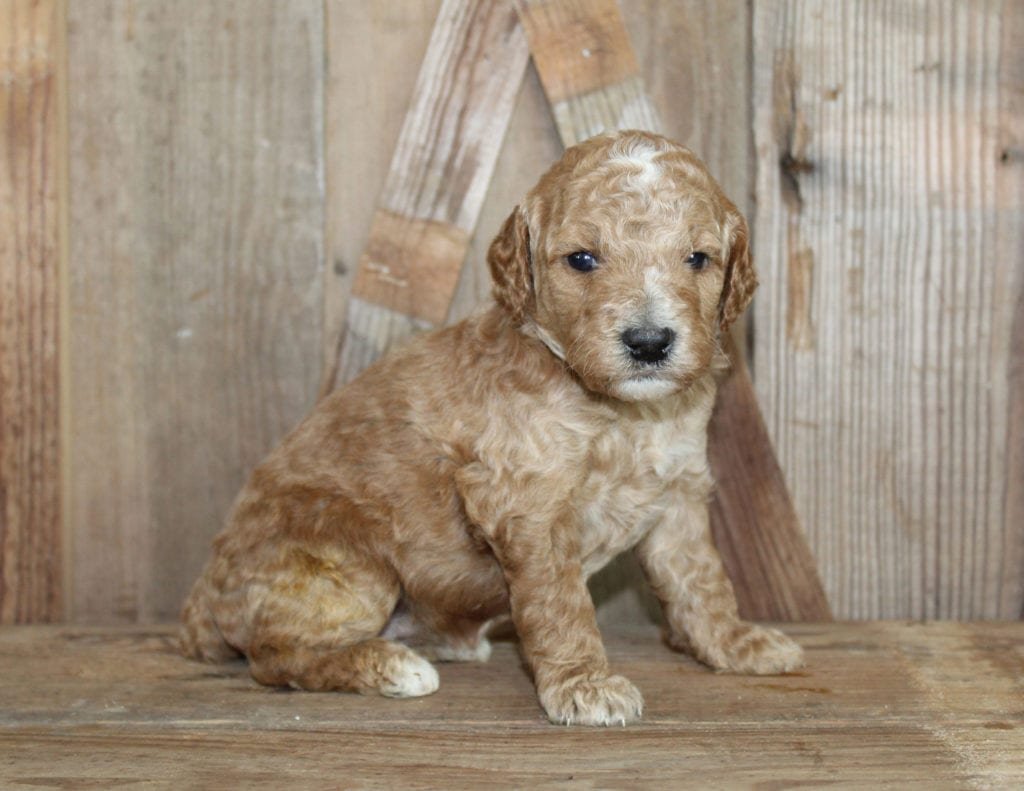 These Goldendoodles were bred by Poodles 2 Doodles, their mother is Tatum and their father is Toby