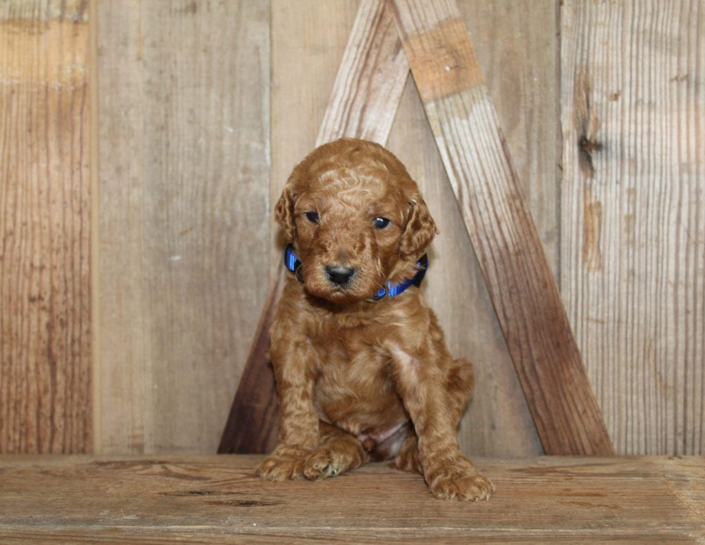 A great pic of cute Mini Goldendoodles!