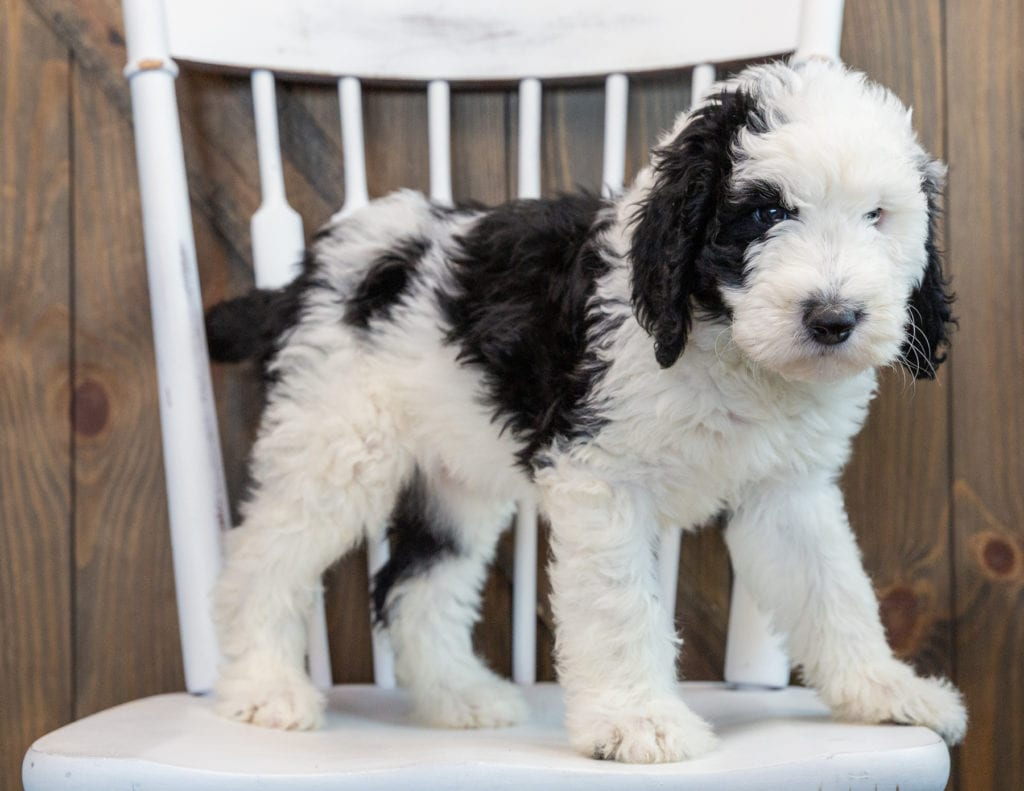 A picture of a Nala, one of our Standard Sheepadoodles puppies that went to their home in New Jersey