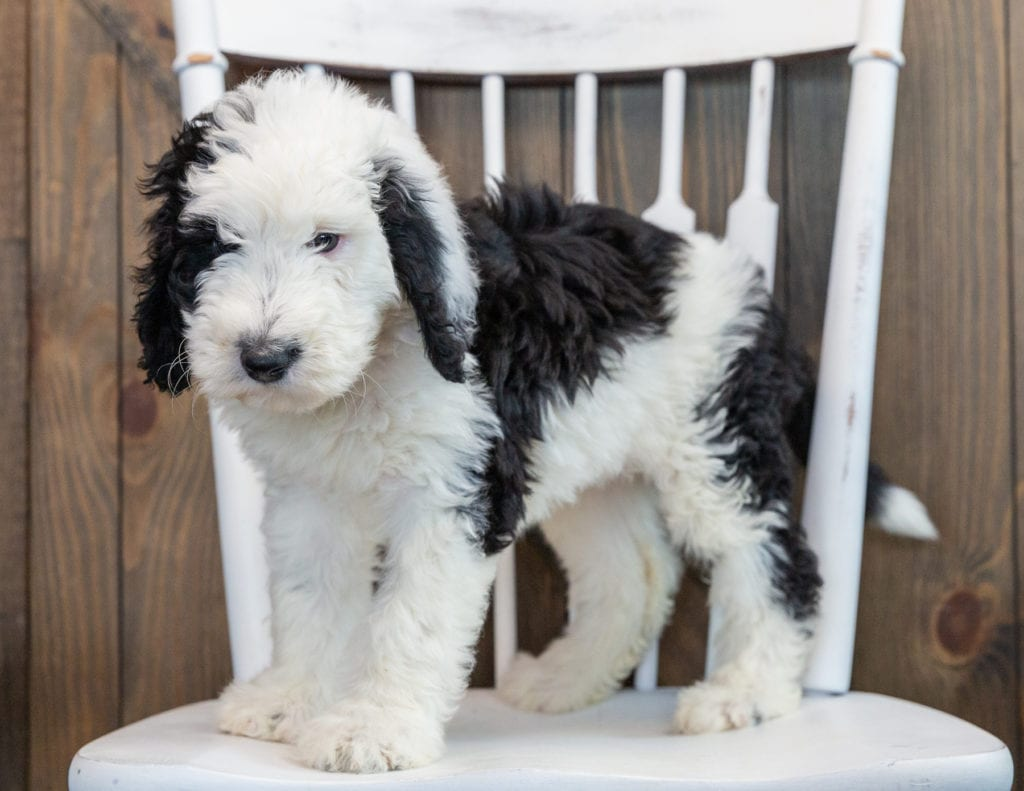 Nala is an F1 Sheepadoodle that should have  and is currently living in New Jersey