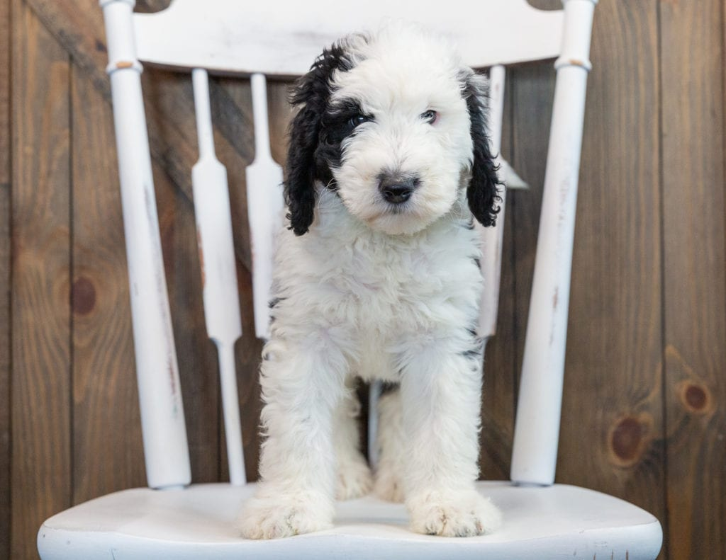 Nala came from Annie and Merlin's litter of F1 Sheepadoodles