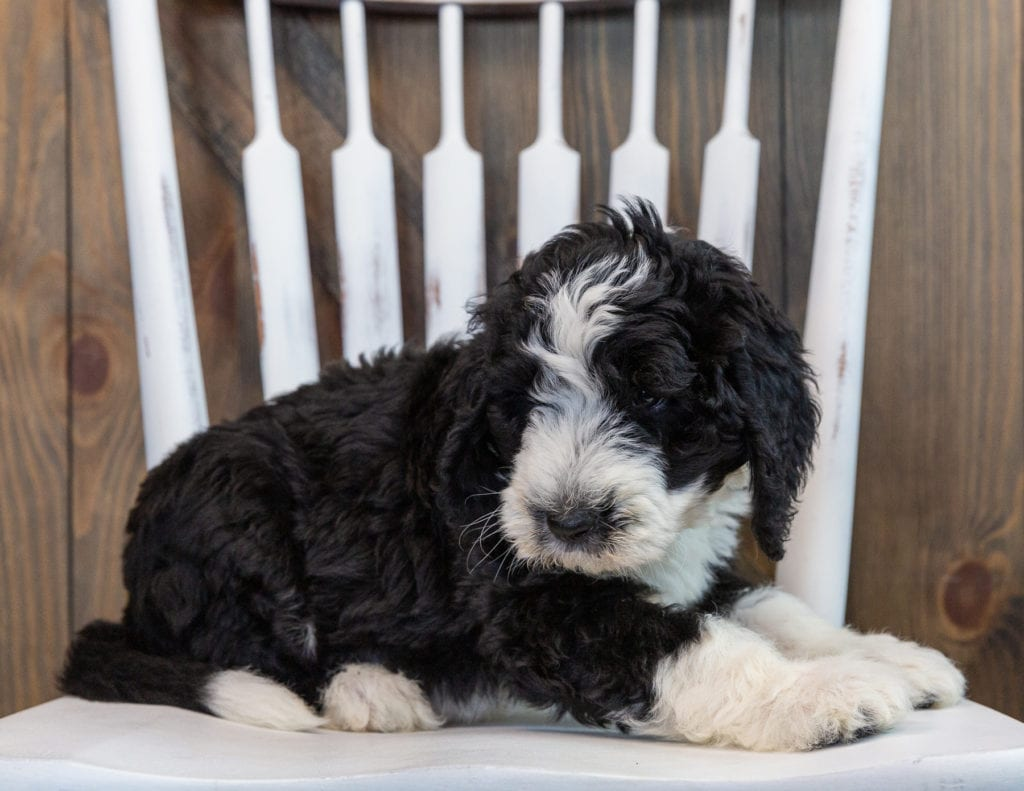 A picture of a Nash, one of our Standard Sheepadoodles puppies that went to their home in Iowa
