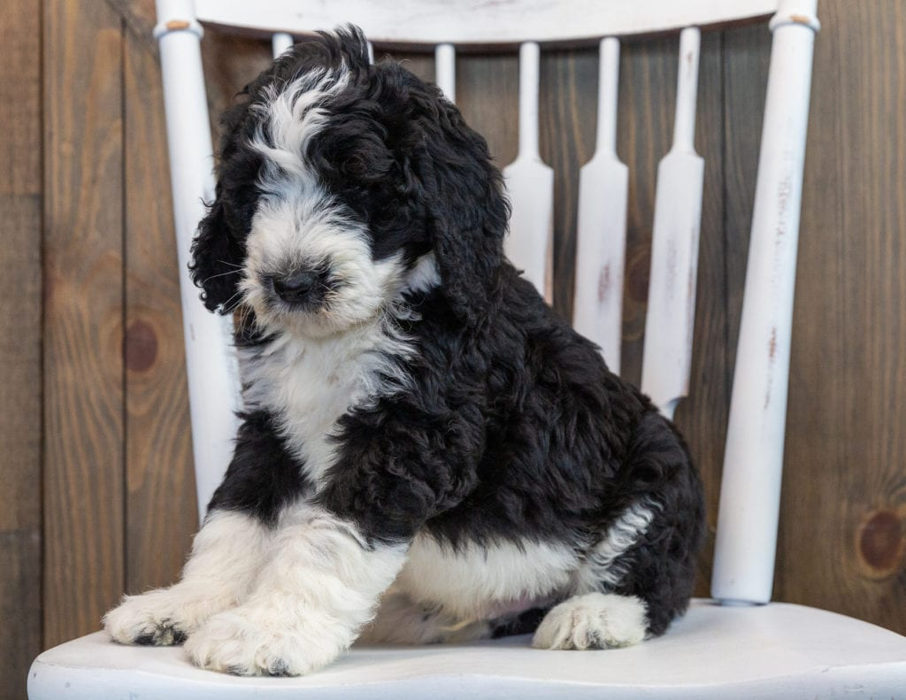 Nash is an F1 Sheepadoodle that should have  and is currently living in Iowa