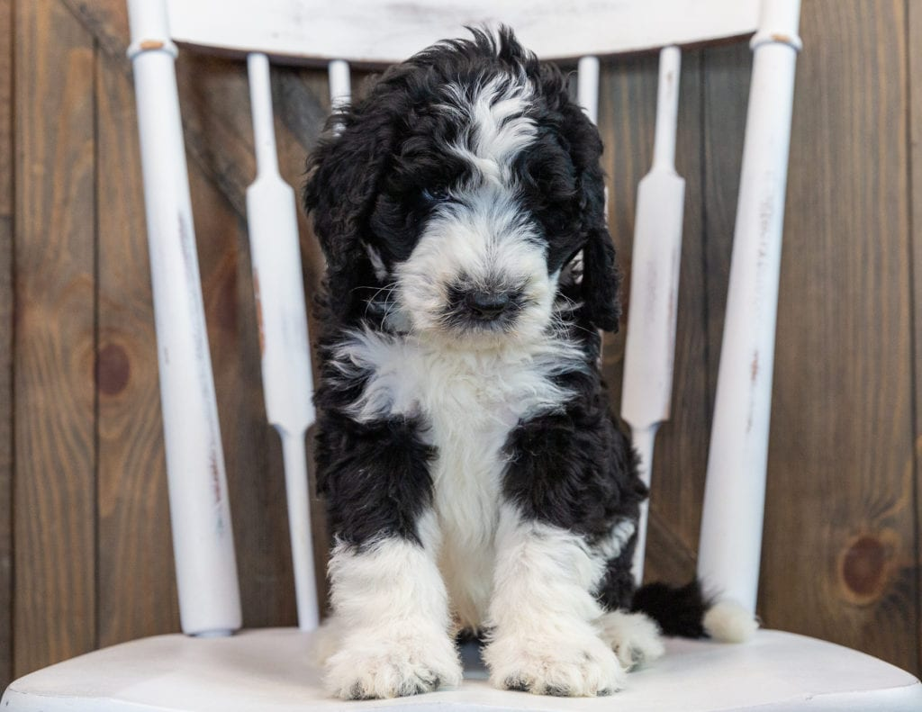 Nash came from Annie and Merlin's litter of F1 Sheepadoodles