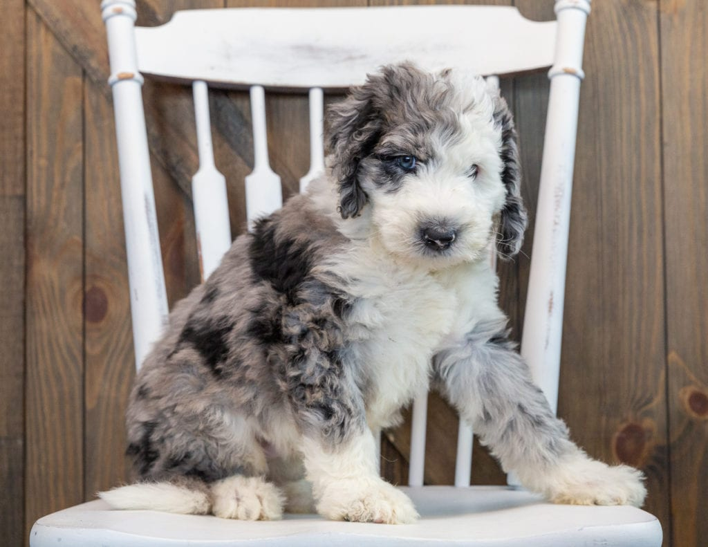A picture of a Nemo, one of our Standard Sheepadoodles puppies that went to their home in Illinois