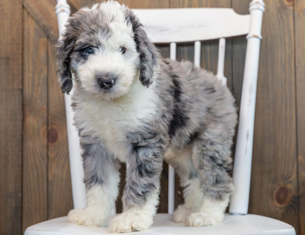 Nemo is an F1 Sheepadoodle that should have  and is currently living in Illinois