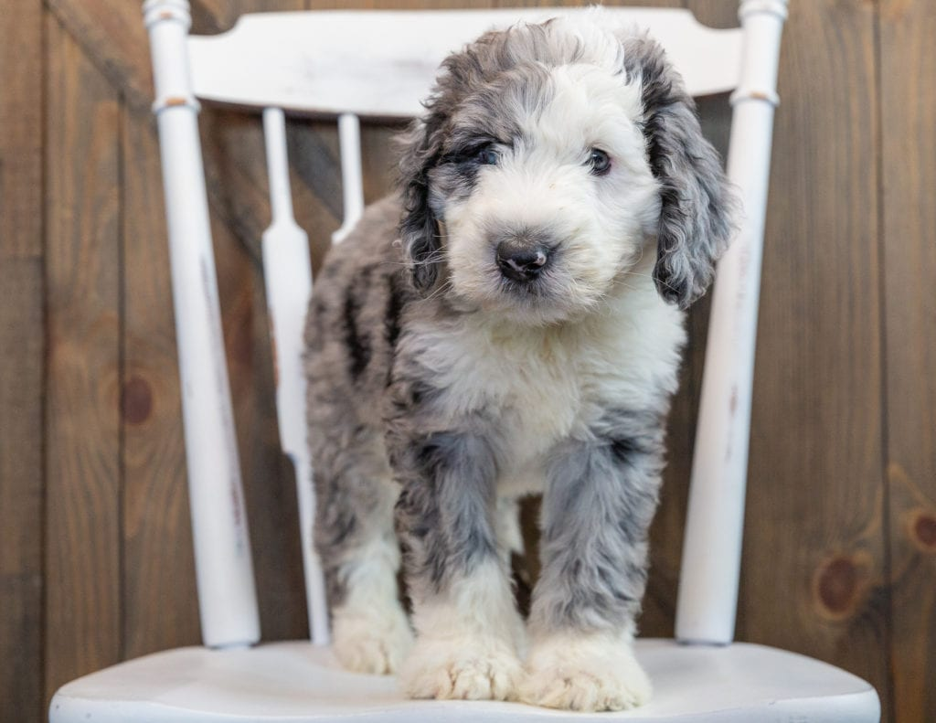 Nemo came from Annie and Merlin's litter of F1 Sheepadoodles