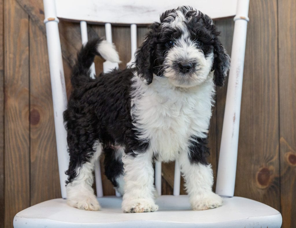A picture of a Nik, one of our Standard Sheepadoodles puppies that went to their home in Maryland