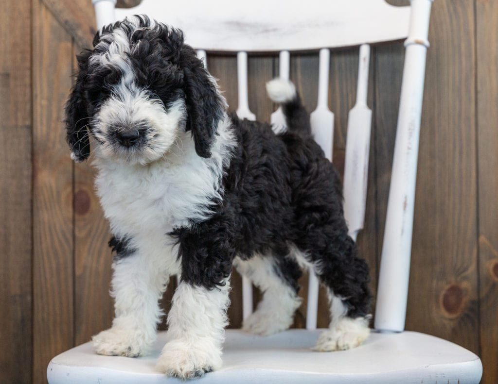Nik is an F1 Sheepadoodle that should have  and is currently living in Maryland