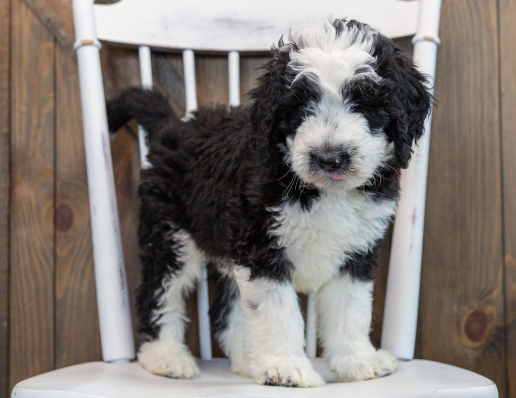 A picture of a Noah, one of our Standard Sheepadoodles puppies that went to their home in Michigan