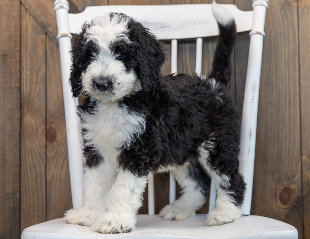 Noah is an F1 Sheepadoodle that should have  and is currently living in Michigan