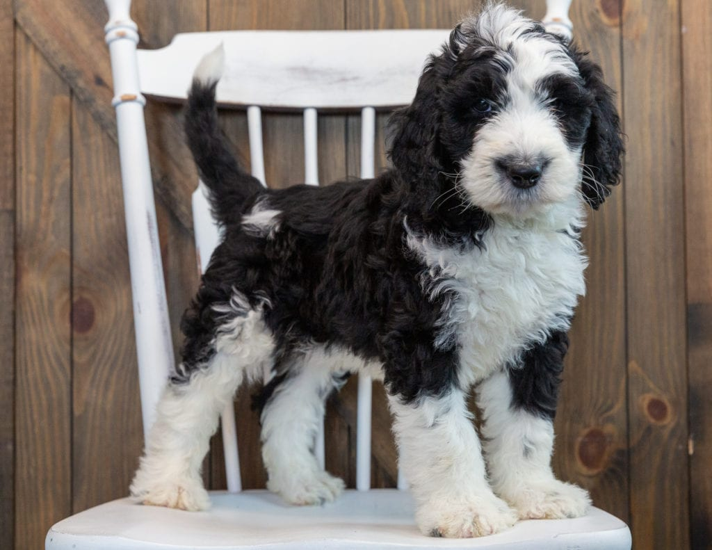 A picture of a Nobi, one of our Standard Sheepadoodles puppies that went to their home in Florida