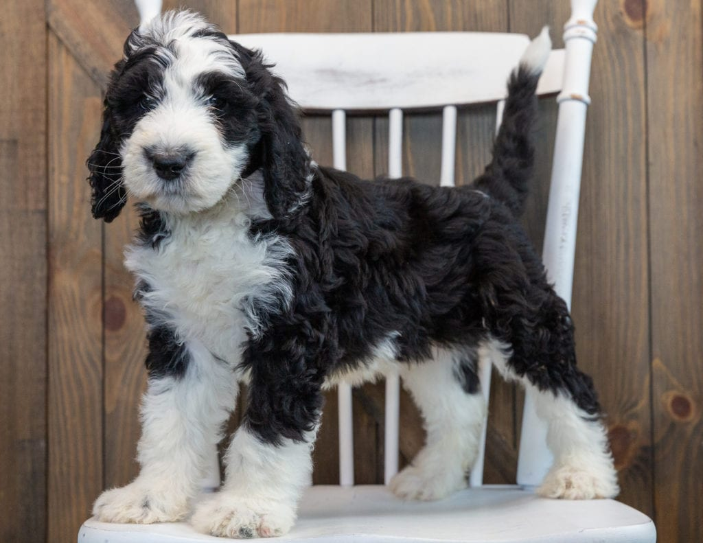 Nobi is an F1 Sheepadoodle that should have  and is currently living in Florida