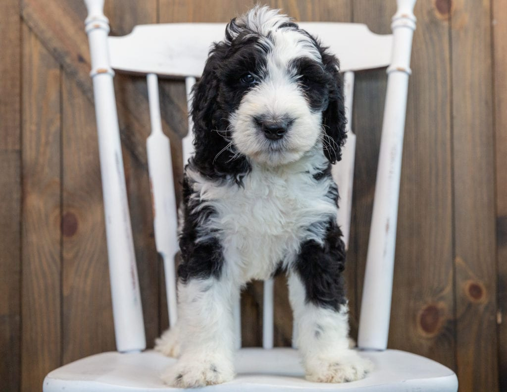 Nobi came from Annie and Merlin's litter of F1 Sheepadoodles