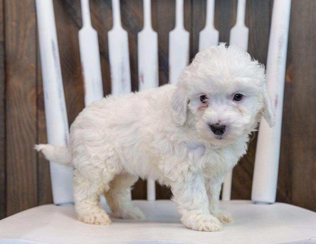 A picture of a Oakleigh, one of our Mini Sheepadoodles for sale