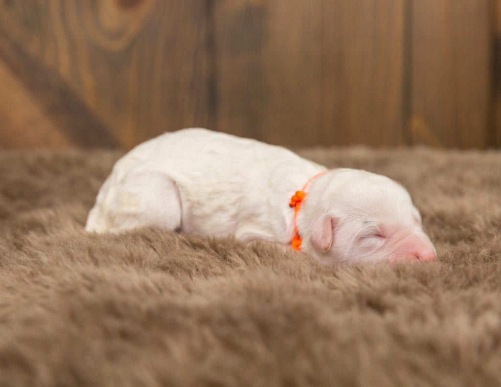 A picture of a Odessa, one of our Mini Sheepadoodles for sale