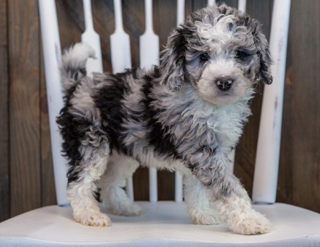 A picture of a Odin, one of our Mini Sheepadoodles puppies that went to their home in Illinois