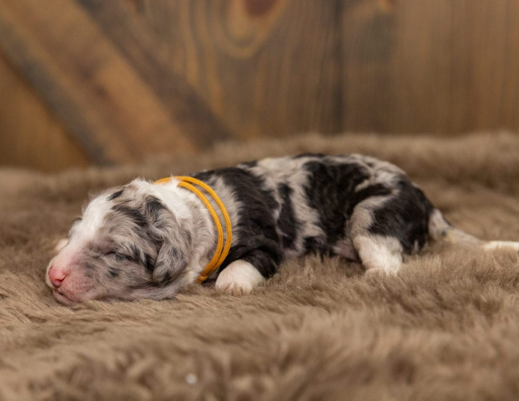 A picture of a Odin, one of our Mini Sheepadoodles for sale