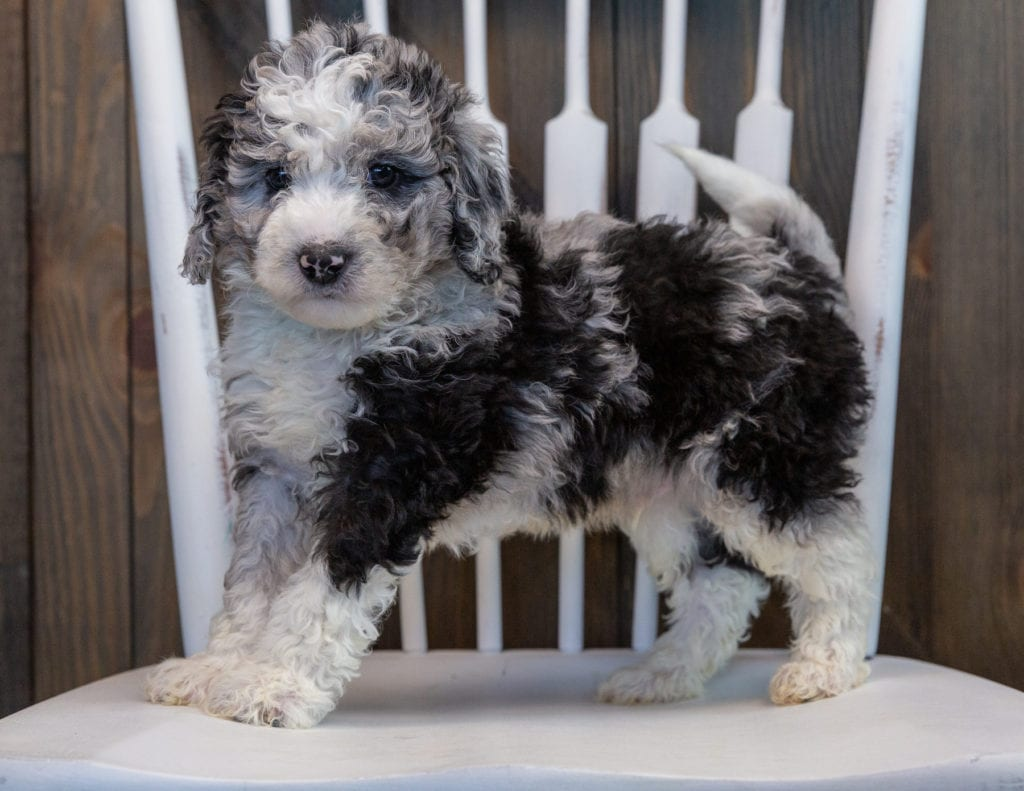 Odin is an F1B Sheepadoodle that should have  and is currently living in Illinois