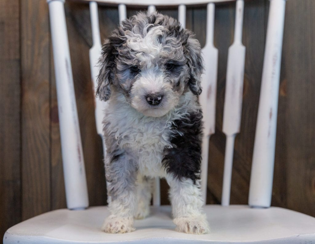 Odin came from Harper and Grimm's litter of F1B Sheepadoodles