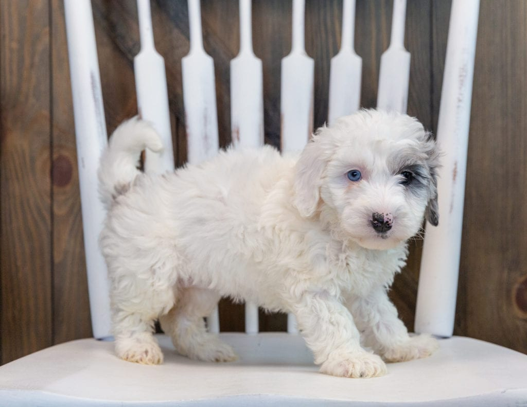 A picture of a Olive, one of our Mini Sheepadoodles puppies that went to their home in Illinois