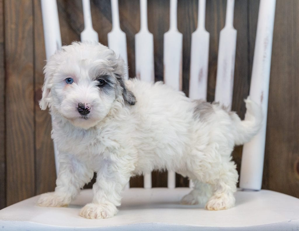 Olive is an F1B Sheepadoodle that should have  and is currently living in Illinois