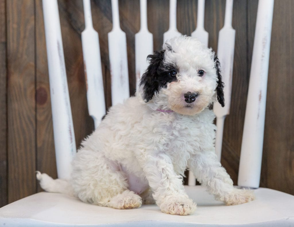 A picture of a Olivia, one of our Mini Sheepadoodles for sale