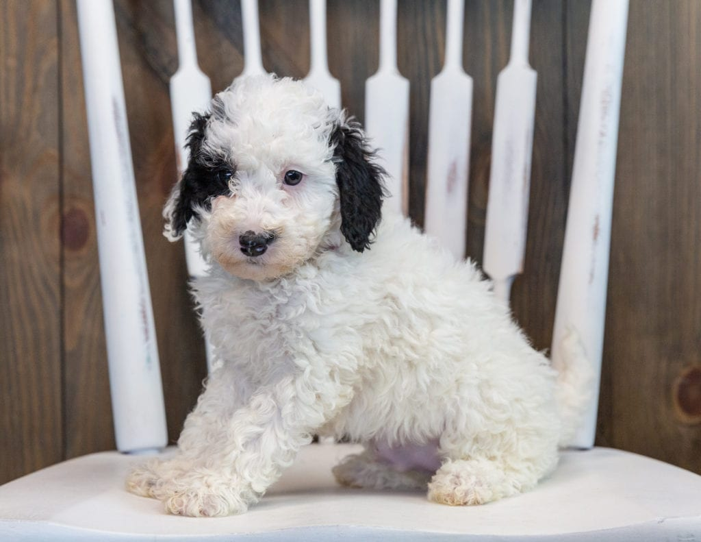 Olivia is an F1B Sheepadoodle that should have  and is currently living in Minnesota