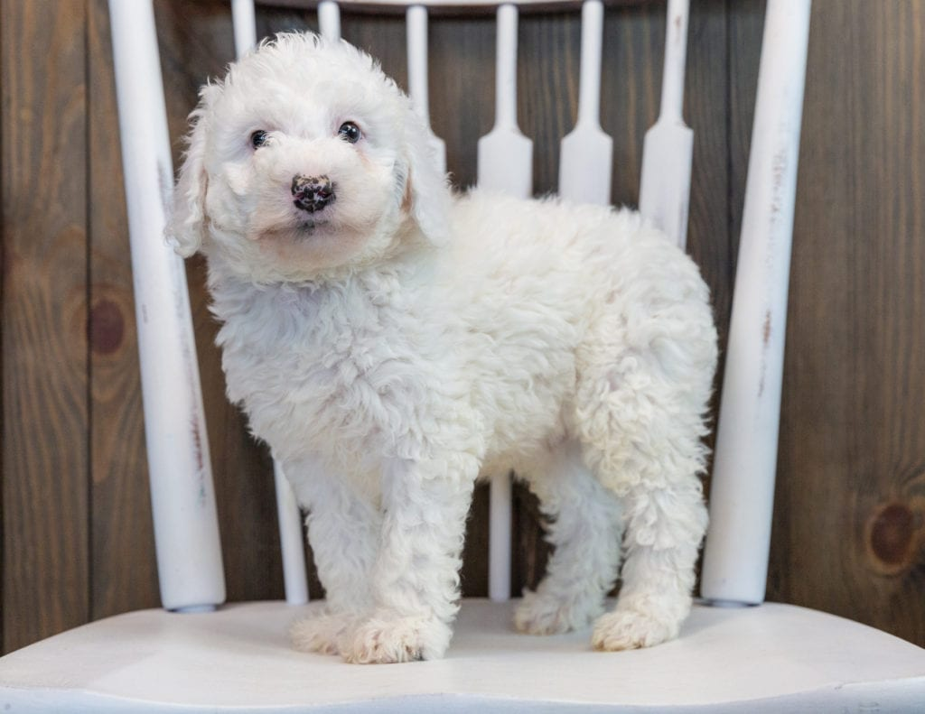 Ollie is an F1B Sheepadoodle that should have  and is currently living in Georgia