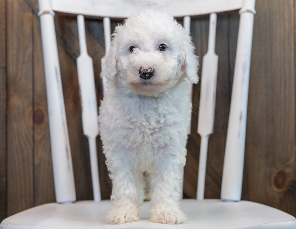 Ollie came from Harper and Grimm's litter of F1B Sheepadoodles