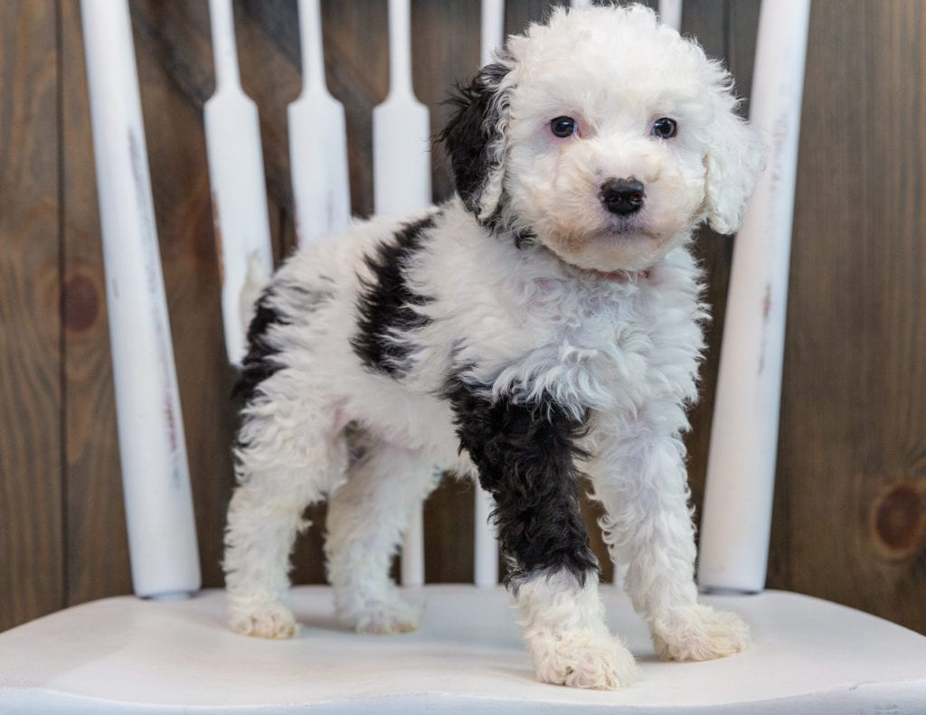 A picture of a Opal, one of our Mini Sheepadoodles puppies that went to their home in Wisconsin