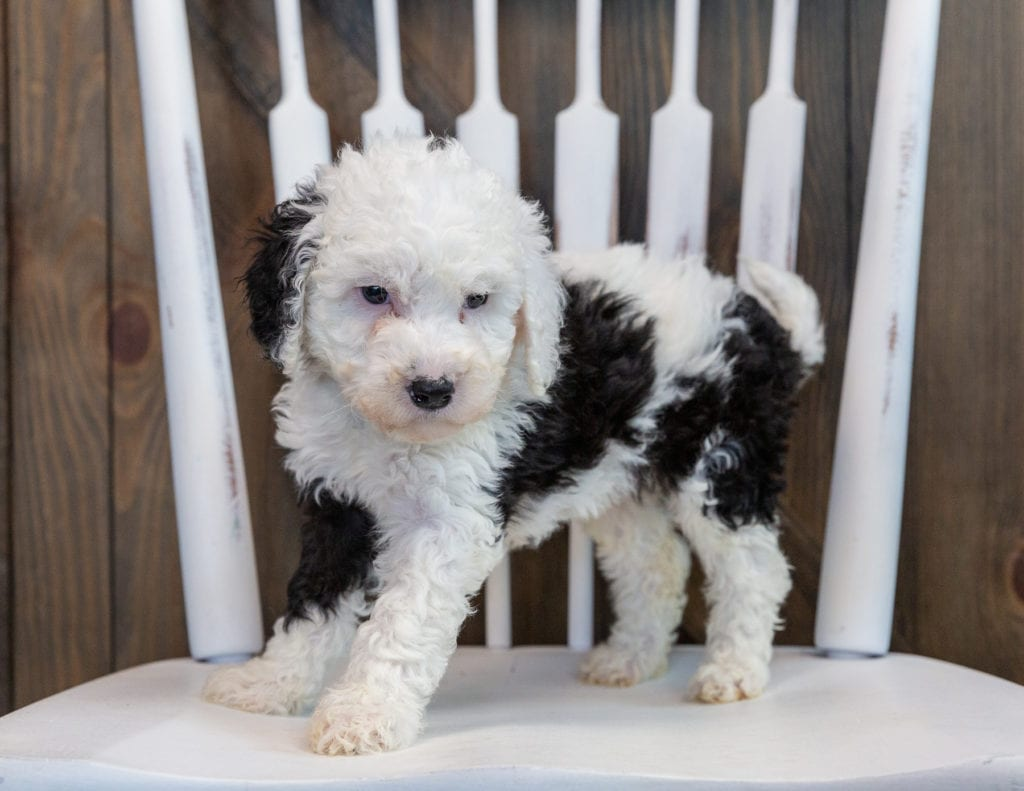 Opal is an F1B Sheepadoodle that should have  and is currently living in Wisconsin