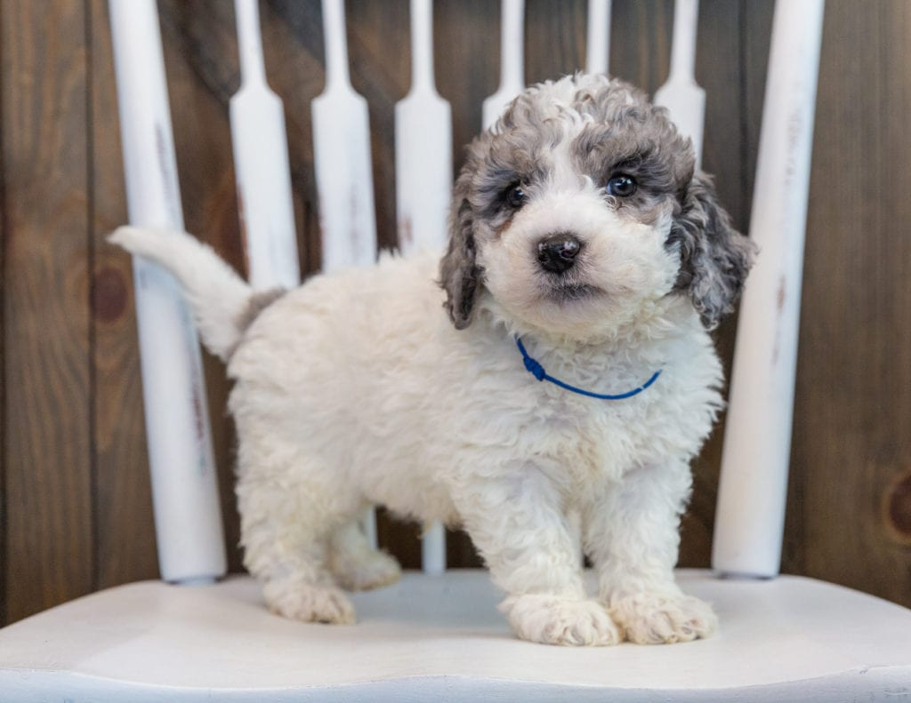 A picture of a Oscar, one of our Mini Sheepadoodles puppies that went to their home in Virginia