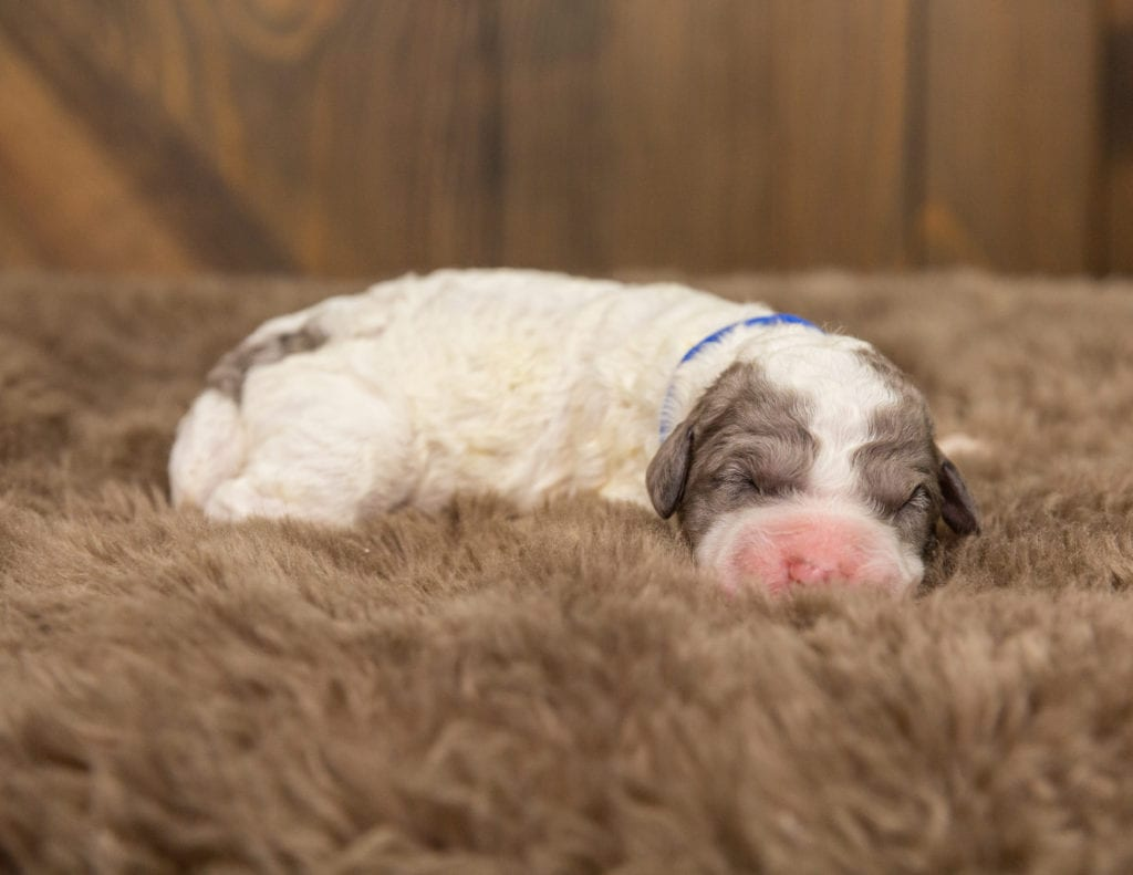 A picture of a Oscar, one of our Mini Sheepadoodles for sale