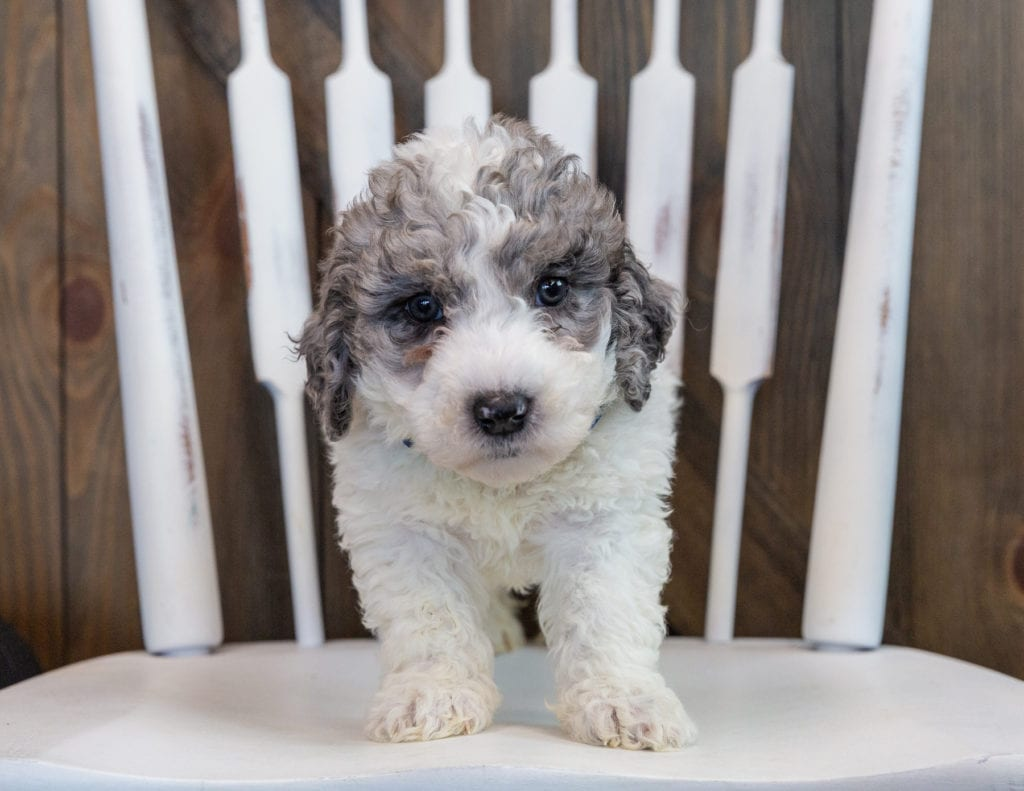 Oscar came from Harper and Grimm's litter of F1B Sheepadoodles