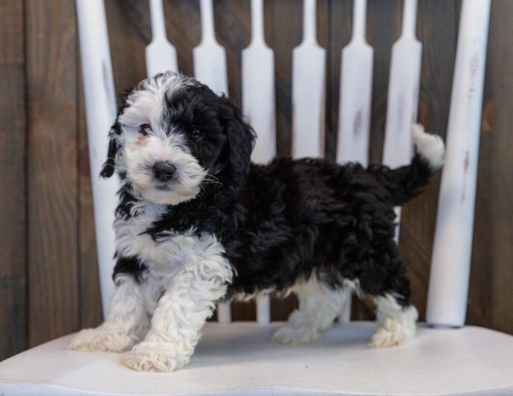 Otto is an F1B Sheepadoodle.
