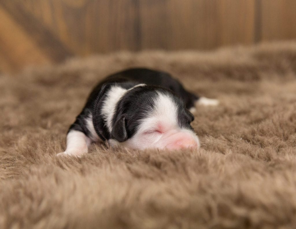 A picture of a Otto, one of our Mini Sheepadoodles for sale