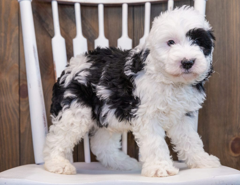 A picture of a Patches, one of our Mini Sheepadoodles puppies that went to their home in Texas