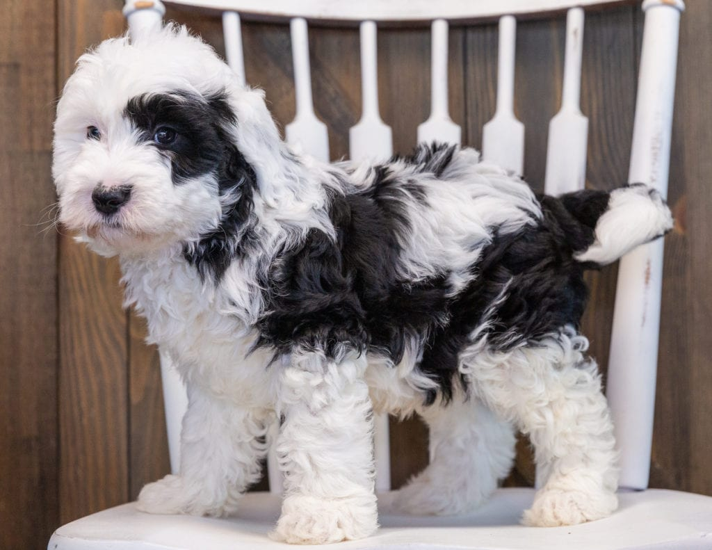 Patches is an F1 Sheepadoodle that should have  and is currently living in Texas