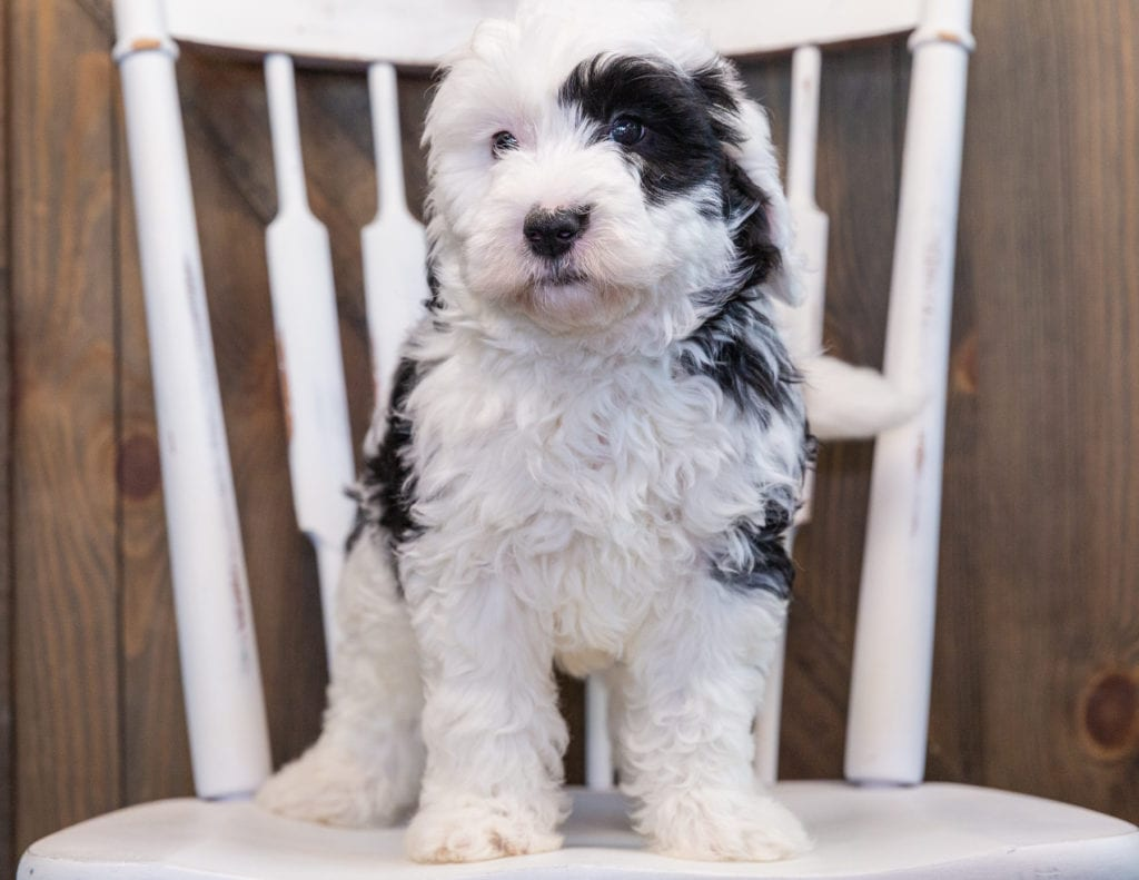 Patches came from Kami and Indy's litter of F1 Sheepadoodles