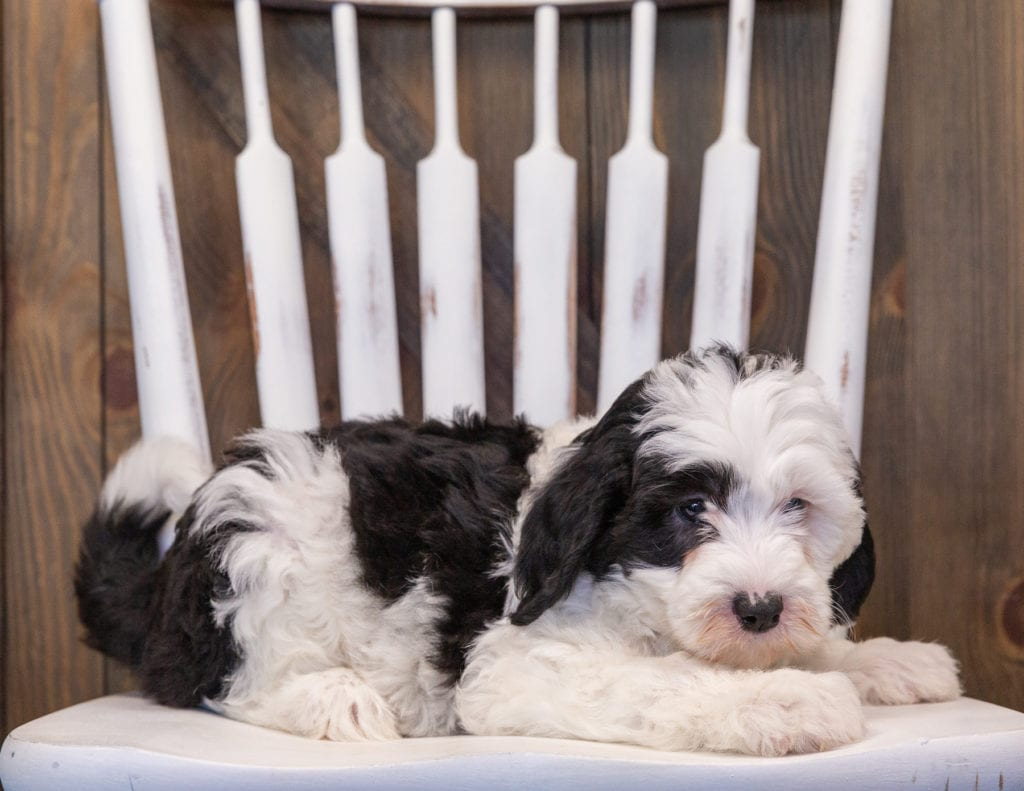 A picture of a Pepper, one of our Mini Sheepadoodles puppies that went to their home in Georgia