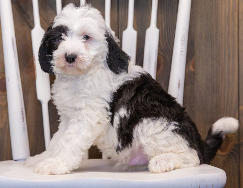 Pepper is an F1 Sheepadoodle that should have  and is currently living in Georgia