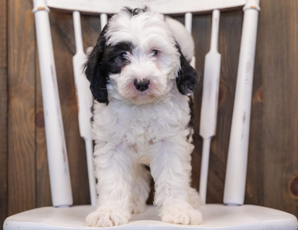 Pepper came from Kami and Indy's litter of F1 Sheepadoodles