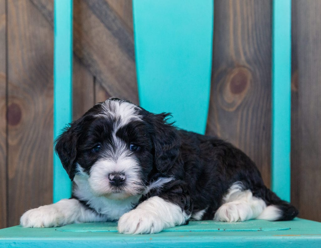 Prince is an F1 Sheepadoodle that should have  and is currently living in Minnesota